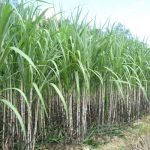 Đưa thiết bị máy móc vào ngành Mía đường để tăng năng suất