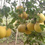 Phú Thọ: Nghiên cứu phân hữu cơ giúp tăng năng suất cây Bưởi