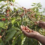 Tăng năng suất Cà Phê lên 14%/ha qua dự án Nescafé Plan
