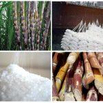 Tìm hướng đi tăng năng suất cho ngành Mía đường Việt Nam