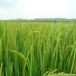 Tiến Nông: Ứng dụng công nghệ tiên tiến giúp nông dân tăng năng suất - tang nang suat 281 150x150
