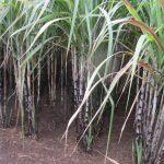 Thâm canh tổng hợp cây Mía giúp tăng năng suất chế biến đường công nghiệp - tang nang suat 281a 150x150