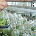 Ứng dụng công nghệ nuôi cấy mô tăng năng suất cây Khoai Tây - tang nang suat 293 150x150