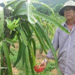Mô hình trồng Thanh Long ruột đỏ cho năng suất thu nhập cao tại Phú Quốc