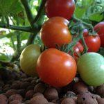 Gen ánh sáng giúp tăng 1/5 sản lượng Cà Chua - tomatoes 800x490 150x150