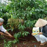 Chăm sóc, bón phân cho cà phê mùa mưa - trangv4 7 a2bonphanchocafe 150x150