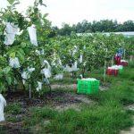 Cao Bằng: Ứng dụng KH&CN trồng cây ăn quả năng suất chất lượng cao