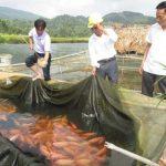 Ứng dụng nuôi cá Điêu Hồng trong lồng cho năng suất cao ở Thái Nguyên - ung dung ky thuat nuoi ca dieu hong trong long cho nang suat cao o thai nguyen 1 150x150