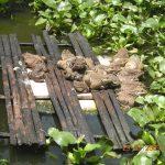 Nuôi ếch: Làm chơi, ăn thật, lãi gần 150 triệu đồng/năm