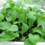 Các loại rau Cải phổ biến và giá trị dinh dưỡng (Phần 2) - 004 ngay 22 thang 5 3 tuan 150x150