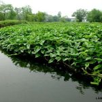 Phương pháp trồng rau Muống nước mang lại hiệu quả