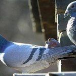 Kinh nghiệm nuôi chim Bồ Câu đạt năng suất cao
