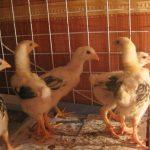 Một số điều cần lưu ý khi chăn nuôi Gà ta - 1015201410610am img 7939 150x150