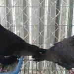 Cách tiêm phòng một số bệnh cho chim Bồ Câu
