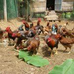 Hoạch toán kinh tế chăn nuôi Gà thịt thả vườn - 121052pmha tha 150x150