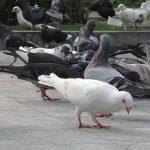 Cách phòng trị bệnh phó thương hàn ở chim Bồ Câu