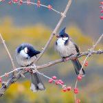 Kỹ thuật nuôi chim Chào Mào sinh sản - 14530hinh nen doi chim be nho hanh phuc 150x150