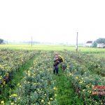Trồng hoa Cúc trái vụ thu nhập gấp 5 lần trồng Lúa - 1465269923 cuc 1 150x150
