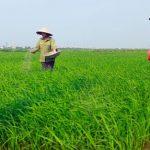 Bón phân Lâm Thao giúp tăng năng suất Lúa lên 30kg/ sào