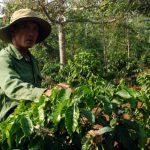 Kĩ thuật bón phân cho cây Cà Phê sau khô hạn