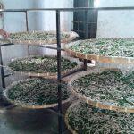 Mô hình trồng Dâu nuôi Tằm - làm chơi, ăn thật - 1465899524 dv bai phu 150x150