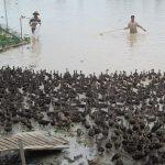 Nuôi Vịt trời kiếm tiền triệu mỗi ngày - 1465974485 vit 150x150