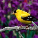 Tại sao khi chim cảnh hót thay lông lại dùng cám dưỡng? - 1467hinh nen chu chim canh mau vang tuyet dep 150x150