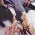 Bệnh đậu ở chim bồ câu