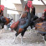 Kinh nghiệm nuôi Gà thịt hiệu quả - 16062015110845 992 150x150