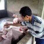 Tiền Giang: Tỉ phú nuôi lợn - 2 edd4c 150x150