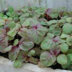 Hướng dẫn cách trồng rau Dền tại nhà