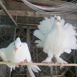 Nhu cầu protein của chim Bồ Câu - 201211201057 bo cau nhat09 150x150