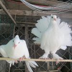 Nhu cầu protein của chim Bồ Câu