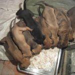 Phát triển kinh tế bằng cách nuôi Chó Phú Quốc - 201301175715 img 2360 150x150