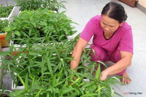 Hướng dẫn cách trồng rau muống trong thùng xốp - 20140517091045 rau tu trong jpg5 300x200