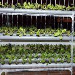 Tìm hiểu phương pháp trồng rau thủy canh