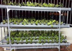 Tìm hiểu phương pháp trồng rau thủy canh - 20140728143846 1 300x212