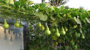 Những lợi ích từ việc trồng rau sạch không phải ai cũng biết - 20141231113845 1 300x169