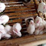 Kỹ thuật chăm sóc Thỏ sơ sinh đạt tỷ lệ sống cao