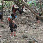 Thu lợi lớn từ nuôi Gà Đông Tảo - 20151218135326 3a3 150x150