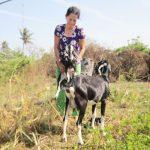 Bến Tre: Con Dê giúp nhiều hộ ven biển thoát nghèo