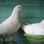 Cách để chim Bồ Câu pháp nuôi công nghiệp đẻ lại nhanh khi con đã nở