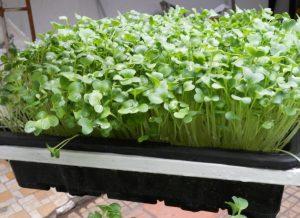 Tổng hợp các cách trồng rau mầm (Phần 1) - 28bfa2123bac9b613ac69510a9b58694 300x218