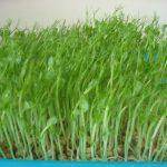 Cách trồng rau Muống hạt đơn giản - 4133822346 98fc27b867 o 150x150