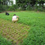 Kỹ thuật trồng rau Muống cạn tại nhà sạch và an toàn - 46tp03y 150x150