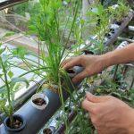 Cách trồng rau thủy canh tại nhà (Phần 1)