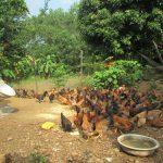 Nuôi Gà thả vườn an toàn sinh học ở Hà Trung – Thanh Hóa
