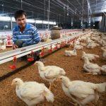 Phú Yên: Chăn nuôi Gà theo chuỗi - 565829dc820c7 150x150