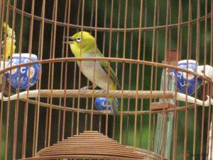 Cần chuẩn bị gì khi nuôi chim cảnh hót - 812dd3a23b4f8e54bbd51a5a3b749301 300x225 1