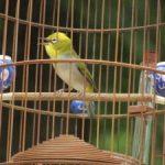 Cần chuẩn bị gì khi nuôi chim cảnh hót